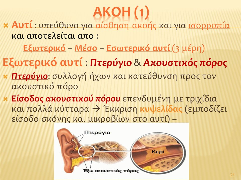  Αυτί : υπεύθυνο για αίσθηση ακοής και για ισορροπία και αποτελείται απο : Εξωτερικό – Μέσο – Εσωτερικό αυτί (3 μέρη) Εξωτερικό αυτί : Πτερύγιο & Ακουστικός πόρος  Πτερύγιο: συλλογή ήχων και κατεύθυνση προς τον ακουστικό πόρο  Είσοδος ακουστικού πόρου επενδυμένη με τριχίδια και πολλά κύτταρα  Έκκριση κυψελίδας (εμποδίζει είσοδο σκόνης και μικροβίων στο αυτί) – 21