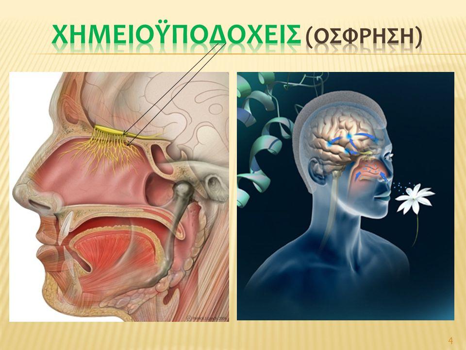 Λειτουργική σύνδεση με γεύση και μαζί με όραση  Επιλογή τροφής (απαραίτητη για επιβίωση) Αισθητήριο όσφρησης: οσφρ.