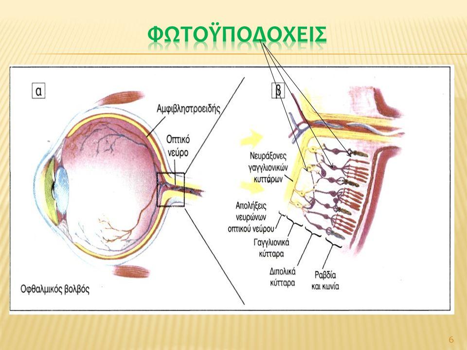  Τροποποιημένα νευρικά κύτταρα στον αμφιβληστροειδή: οι απολήξεις τους ( ραβδία & κωνία ) περιέχουν φωτοευαίσθητες χρωστικές  Ραβδία : πολυάριθμα (150 Χ 10 6 )  περιφέρεια αμφιβληστροειδούς  Κωνία : λιγότερα (3 Χ 10 6 )  κέντρο του αμφιβληστροειδούς, κυρίως στην ωχρά κηλίδα Και τα δύο: συνάψεις με διπολικούς νευρώνες και μετά συνάψεις με άλλα νευρ.