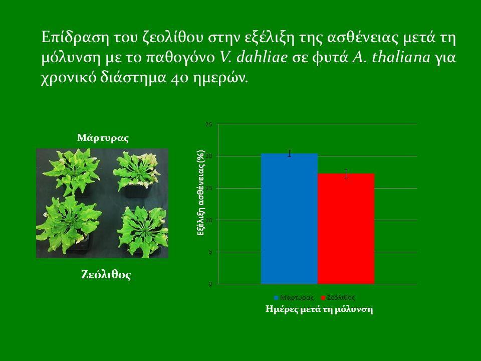 Επίδραση του ζεολίθου στην εξέλιξη της ασθένειας μετά τη μόλυνση με το παθογόνο V. dahliae σε φυτά A. thaliana για χρονικό διάστημα 40 ημερών. Μάρτυρα