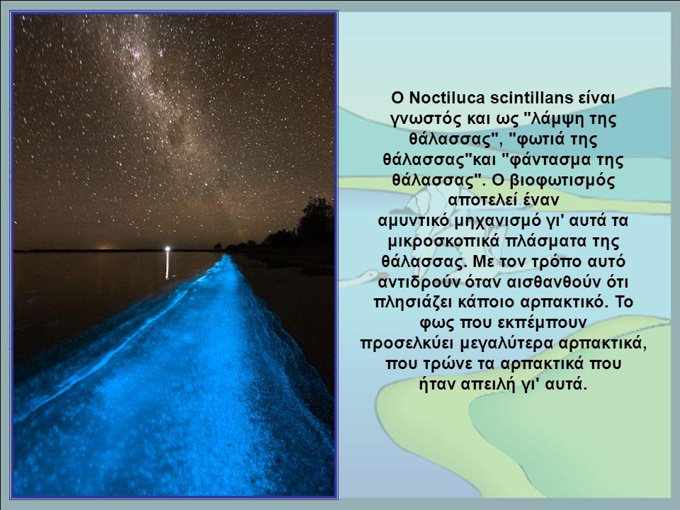 Ο Noctiluca scintillans είναι γνωστός και ως λάμψη της θάλασσας , φωτιά της θάλασσας και φάντασμα της θάλασσας .