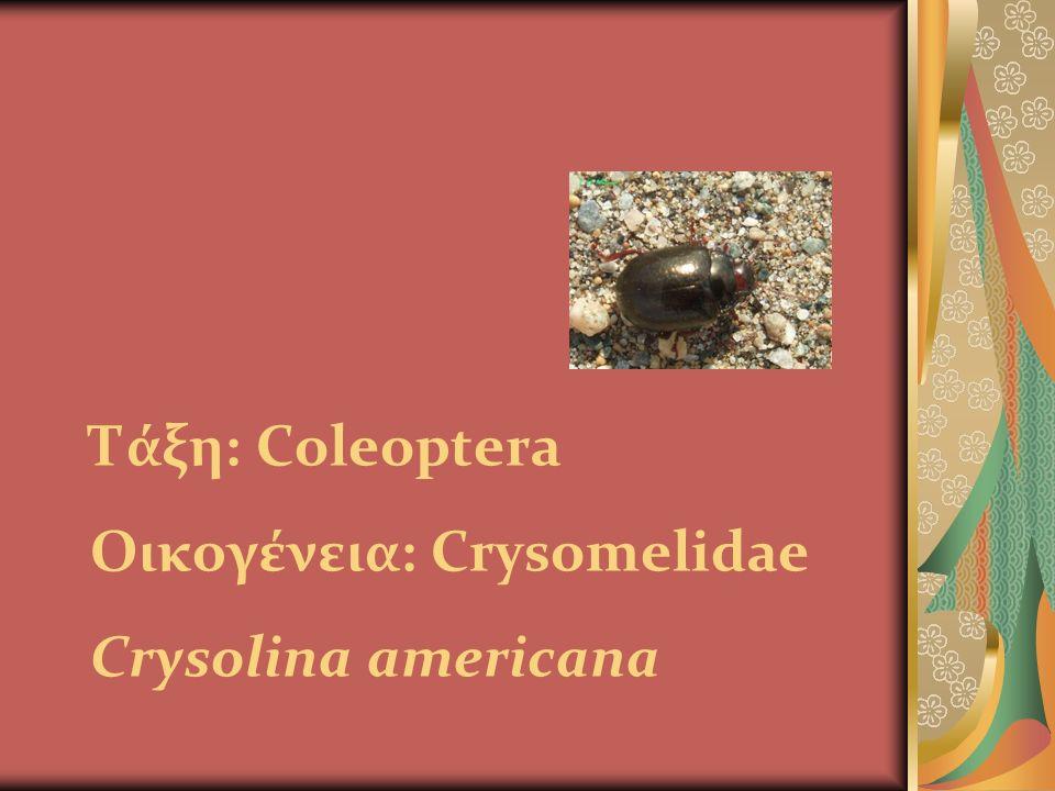 Τάξη: Coleoptera Οικογένεια: Crysomelidae Crysolina americana