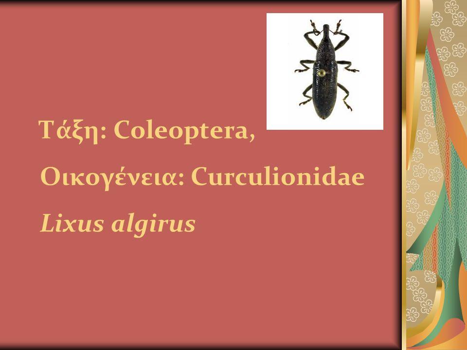 Τάξη: Coleoptera, Οικογένεια: Curculionidae Lixus algirus previousprevious | nextnext previousprevious | nextnext