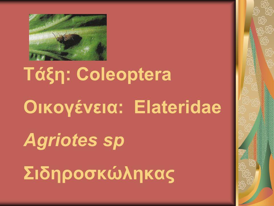 Τάξη: Coleoptera Οικογένεια: Elateridae Agriotes sp Σιδηροσκώληκας