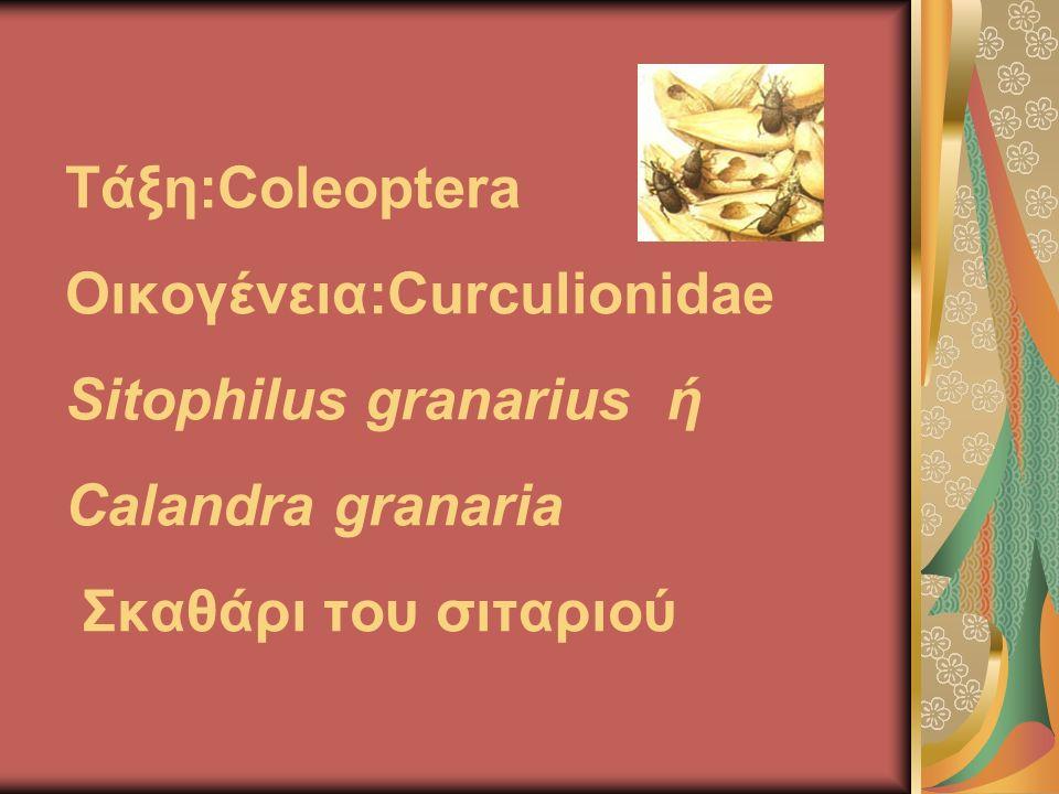 Τάξη:Coleoptera Οικογένεια:Curculionidae Sitophilus granarius ή Calandra granaria Σκαθάρι του σιταριού