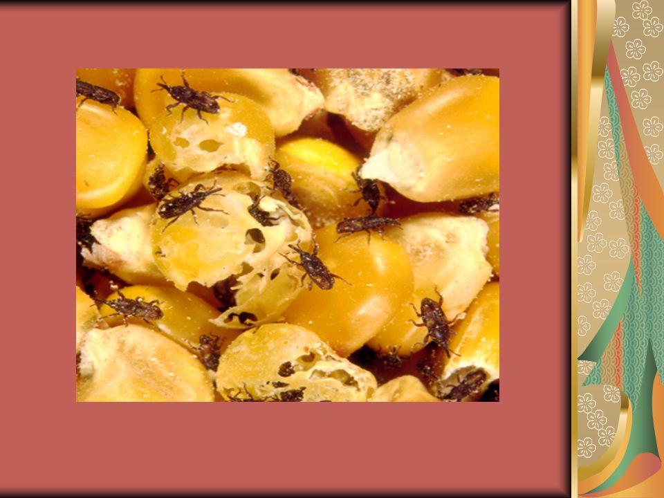 Τάξη:Coleoptera Οικογένεια:Tenebrionidae Tribolium confusum Σκαθάρι του σιταριού η ψείρα των αλεύρων