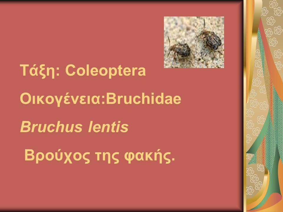 Τάξη: Coleoptera Οικογένεια:Bruchidae Bruchus lentis Βρούχος της φακής.