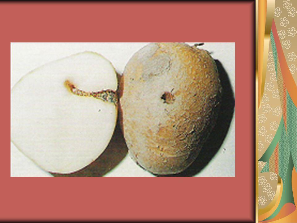 Τα προσβεβλημένα φυτά, υφίστανται σοβαρές ζημιές και ξεραίνονται, ενώ οι προσβεβλημένοι κόνδυλοι της πατάτας, χάνουν ολοσχερώς την εμπορική τους αξία