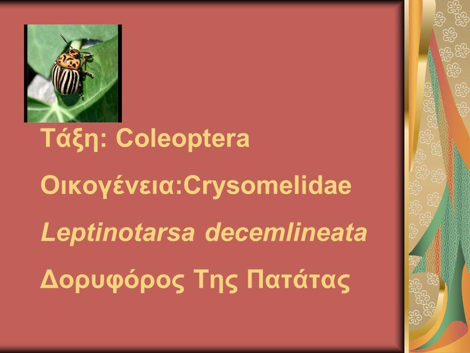 Τάξη: Coleoptera Οικογένεια:Crysomelidae Leptinotarsa decemlineata Δορυφόρος Της Πατάτας