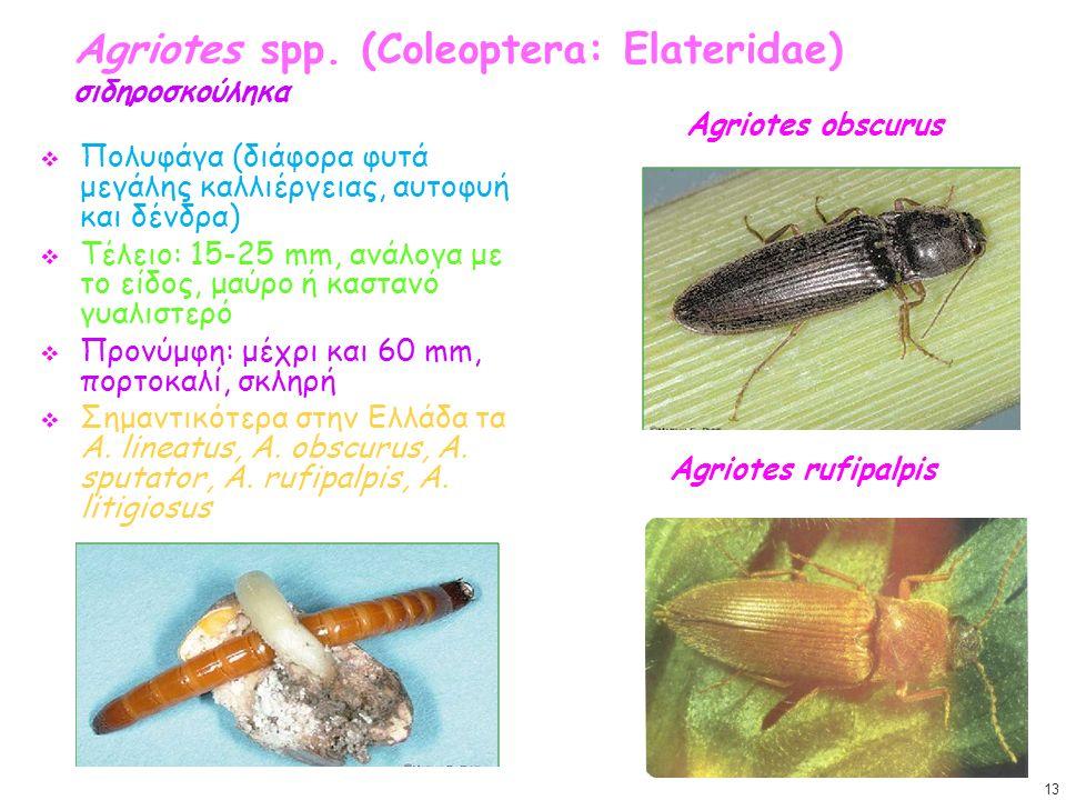 Agriotes spp. (Coleoptera: Elateridae) σιδηροσκούληκα  Πολυφάγα (διάφορα φυτά μεγάλης καλλιέργειας, αυτοφυή και δένδρα)  Τέλειο: 15-25 mm, ανάλογα μ
