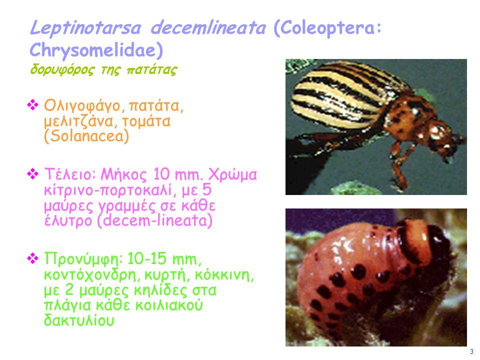 Leptinotarsa decemlineata (Coleoptera: Chrysomelidae) δορυφόρος της πατάτας  Ολιγοφάγο, πατάτα, μελιτζάνα, τομάτα (Solanacea)  Τέλειο: Μήκος 10 mm.