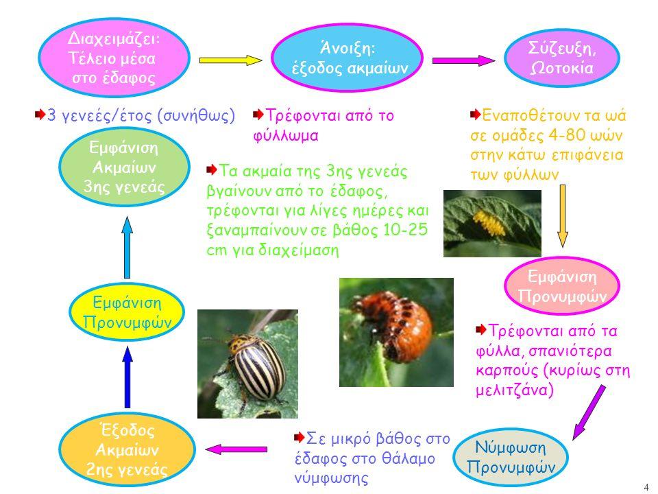 Διαχειμάζει: Τέλειο μέσα στο έδαφος Άνοιξη: έξοδος ακμαίων 3 γενεές/έτος (συνήθως)Τρέφονται από το φύλλωμα Σύζευξη, Ωοτοκία Εναποθέτουν τα ωά σε ομάδες 4-80 ωών στην κάτω επιφάνεια των φύλλων Εμφάνιση Προνυμφών Τρέφονται από τα φύλλα, σπανιότερα καρπούς (κυρίως στη μελιτζάνα) Νύμφωση Προνυμφών Σε μικρό βάθος στο έδαφος στο θάλαμο νύμφωσης Έξοδος Ακμαίων 2ης γενεάς Εμφάνιση Προνυμφών Εμφάνιση Ακμαίων 3ης γενεάς Τα ακμαία της 3ης γενεάς βγαίνουν από το έδαφος, τρέφονται για λίγες ημέρες και ξαναμπαίνουν σε βάθος 10-25 cm για διαχείμαση 4