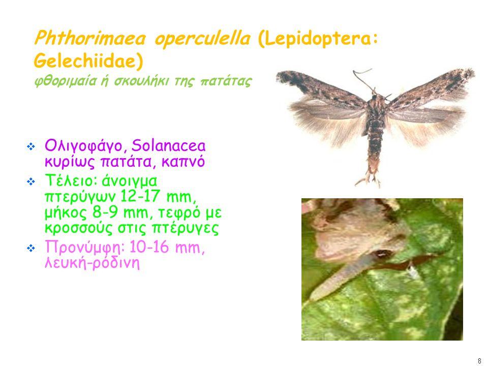 Phthorimaea operculella (Lepidoptera: Gelechiidae) φθοριμαία ή σκουλήκι της πατάτας  Ολιγοφάγο, Solanacea κυρίως πατάτα, καπνό  Τέλειο: άνοιγμα πτερύγων 12-17 mm, μήκος 8-9 mm, τεφρό με κροσσούς στις πτέρυγες  Προνύμφη: 10-16 mm, λευκή-ρόδινη 8