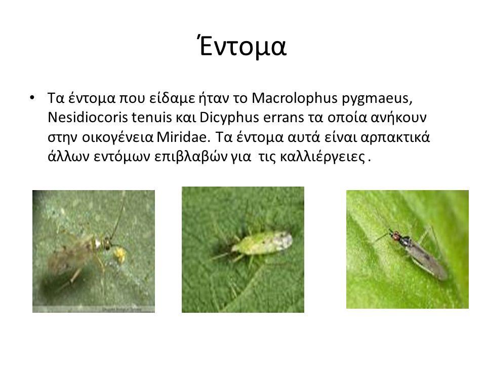 Έντομα Τα έντομα που είδαμε ήταν το Macrolophus pygmaeus, Nesidiocoris tenuis και Dicyphus errans τα οποία ανήκουν στην οικογένεια Miridae.