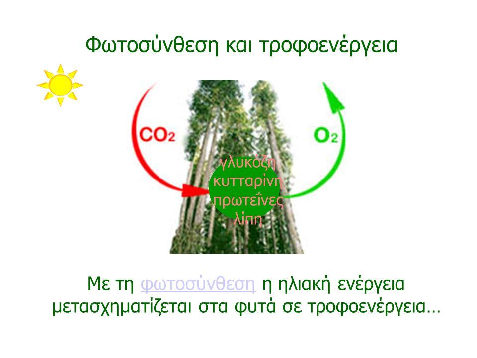 Με τη φωτοσύνθεση η ηλιακή ενέργεια μετασχηματίζεται στα φυτά σε τροφοενέργεια…φωτοσύνθεση Φωτοσύνθεση και τροφοενέργεια γλυκόζη κυτταρίνη πρωτεΐνες λ
