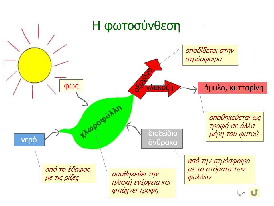 χλωροφύλλη Η φωτοσύνθεση οξυγόνο γλυκόζη άμυλο, κυτταρίνη νερό διοξείδιο άνθρακα φως από το έδαφος με τις ρίζες αποθηκεύει την ηλιακή ενέργεια και φτι