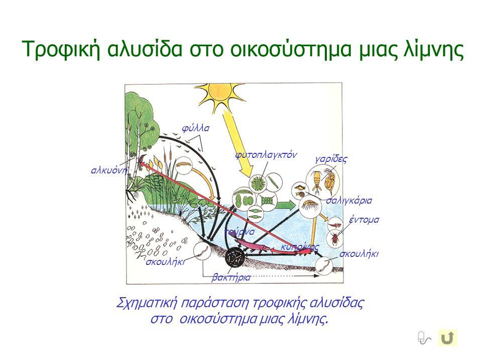 βακτήρια σκουλήκι φύλλα φυτοπλαγκτόν γαρίδες σαλιγκάρια έντομα αλκυόνη τούρνα κυπρίνος Τροφική αλυσίδα στο οικοσύστημα μιας λίμνης  Σχηματική παράστα