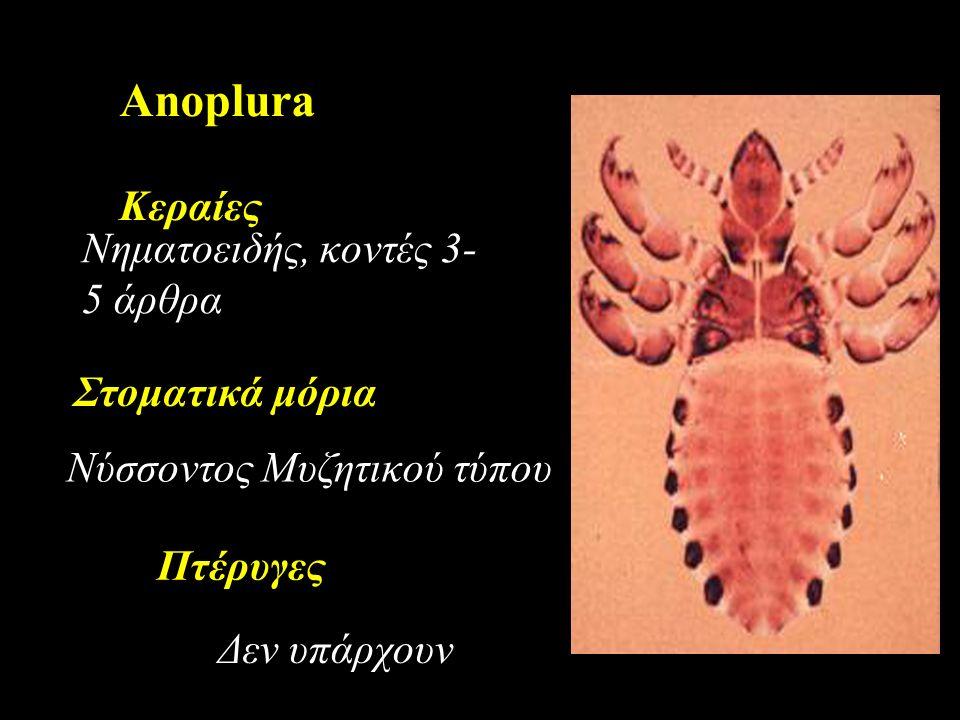 Anoplura Κεραίες Νύσσοντος Μυζητικού τύπου Νηματοειδής, κοντές 3- 5 άρθρα Στοματικά μόρια Δεν υπάρχουν Πτέρυγες