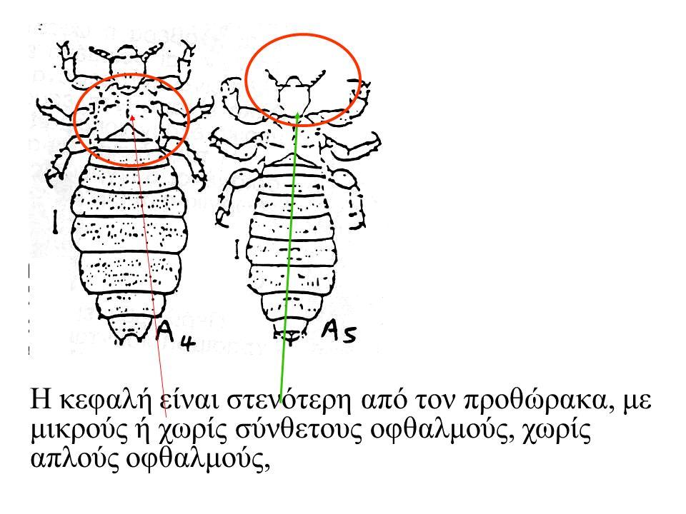 Κύκλος ζωής του παράσιτου: Το ώριμο θηλυκό, 1-2 ημέρες μετά τη γονιμοποίηση, γεννά ωάρια, που προσκολλώνται στερεά στις τρίχες, μέχρι 1 χιλιοστό από το δέρμα, δεδομένου ότι η θερμοκρασία του σώματος είναι απαραίτητη για την επώασή τους.