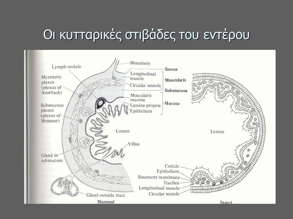 Οι κυτταρικές στιβάδες του εντέρου