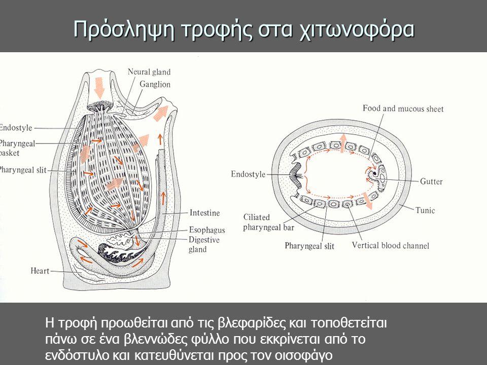 Πρόσληψη τροφής στα χιτωνοφόρα Η τροφή προωθείται από τις βλεφαρίδες και τοποθετείται πάνω σε ένα βλεννώδες φύλλο που εκκρίνεται από το ενδόστυλο και κατευθύνεται προς τον οισοφάγο