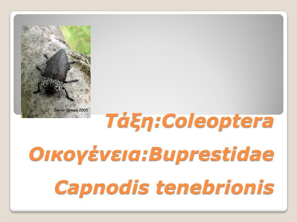 Τάξη:Coleoptera Οικογένεια:Buprestidae Capnodis tenebrionis Τάξη:Coleoptera Οικογένεια:Buprestidae Capnodis tenebrionis