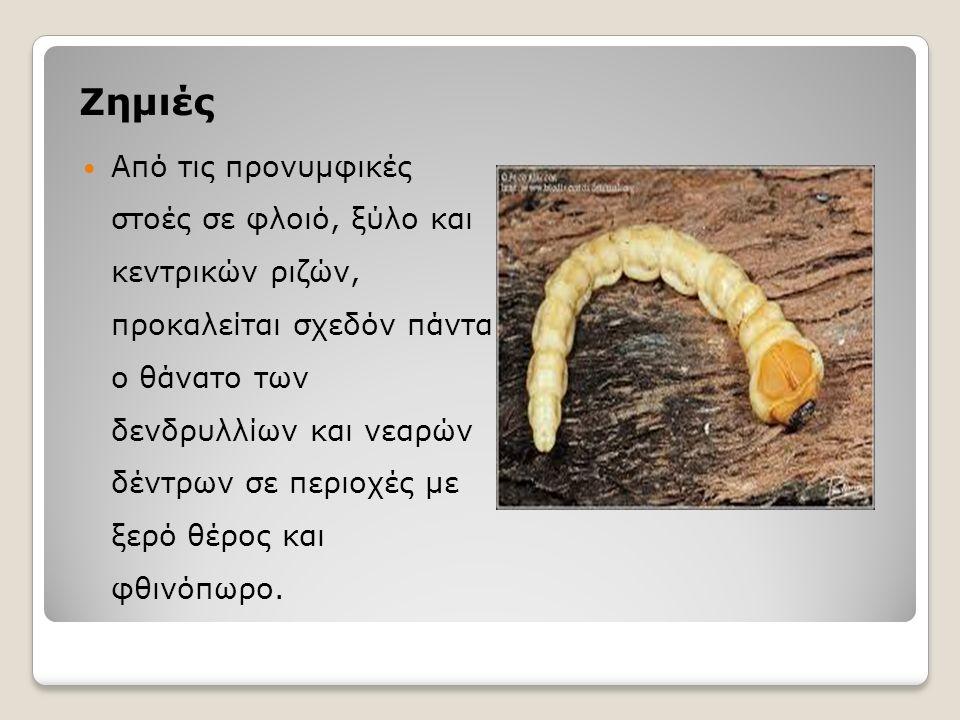 Ζημιές Από τις προνυμφικές στοές σε φλοιό, ξύλο και κεντρικών ριζών, προκαλείται σχεδόν πάντα ο θάνατο των δενδρυλλίων και νεαρών δέντρων σε περιοχές