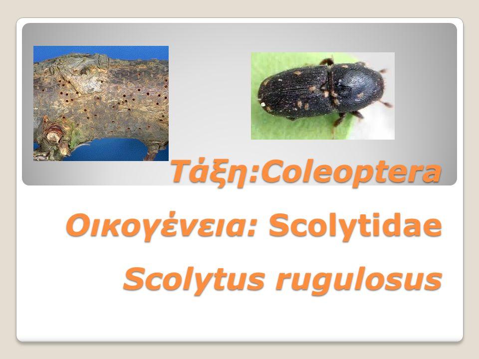 Τάξη:Coleoptera Οικογένεια: Scolytidae Scolytus rugulosus