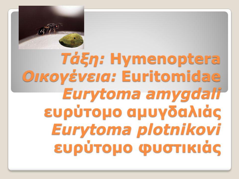 Τάξη: Ηymenoptera Οικογένεια: Euritomidae Eurytoma amygdali ευρύτομο αμυγδαλιάς Eurytoma plotnikovi ευρύτομο φυστικιάς