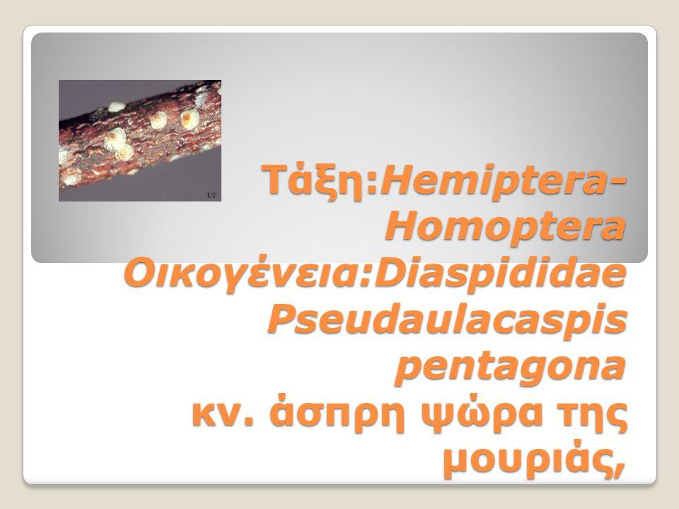 Τάξη:Hemiptera- Homoptera Οικογένεια:Diaspididae Pseudaulacaspis pentagona κν. άσπρη ψώρα της μουριάς,