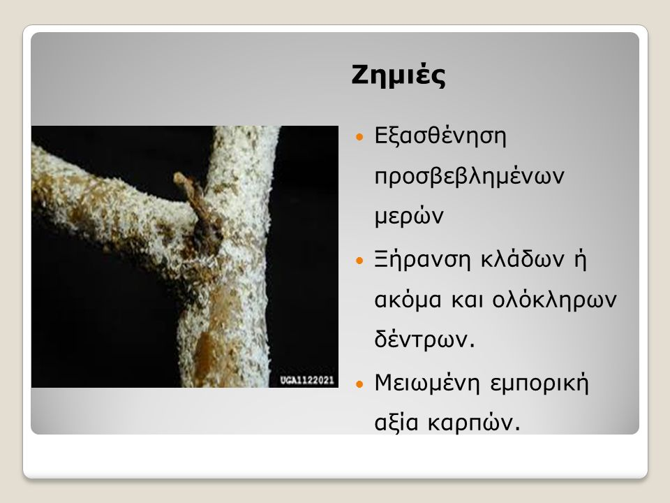 Ζημιές Εξασθένηση προσβεβλημένων μερών Ξήρανση κλάδων ή ακόμα και ολόκληρων δέντρων. Μειωμένη εμπορική αξία καρπών.