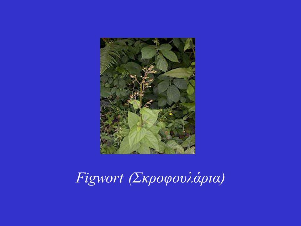 Figwort (Σκροφουλάρια)