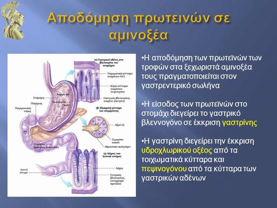 Η αποδόμηση των πρωτεϊνών των τροφών στα ξεχωριστά αμινοξέα τους πραγματοποιείται στον γαστρεντερικό σωλήνα Η είσοδος των πρωτεϊνών στο στομάχι διεγεί
