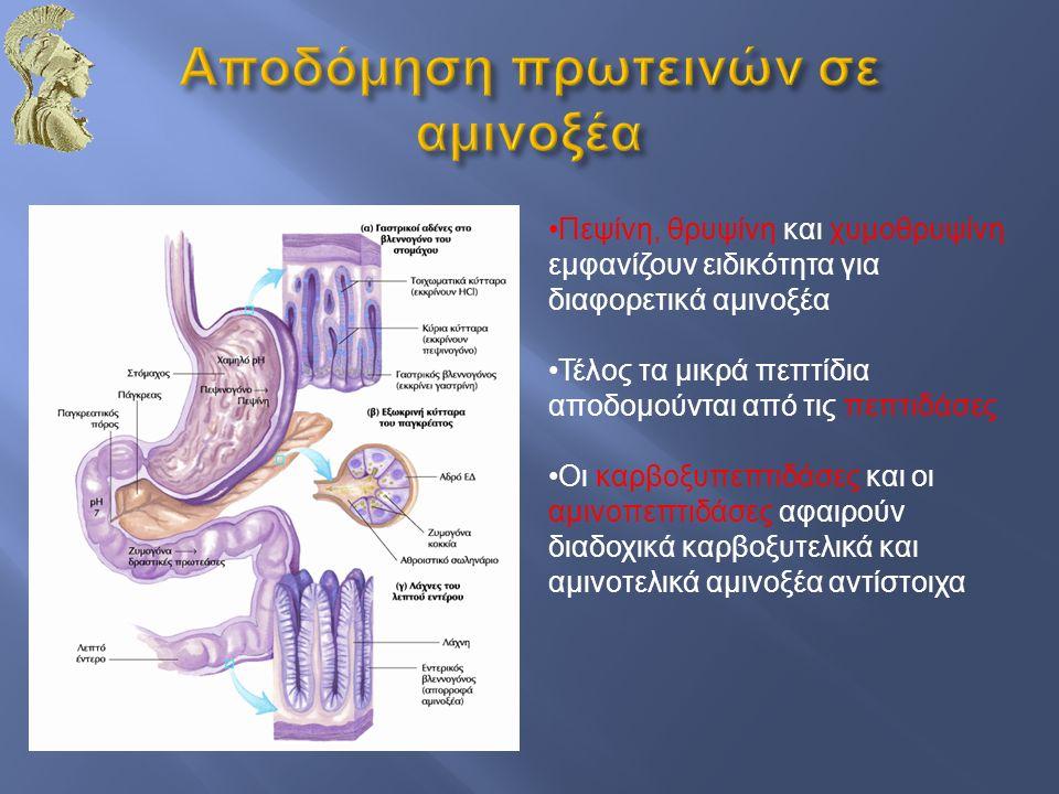 Πεψίνη, θρυψίνη και χυμοθρυψίνη εμφανίζουν ειδικότητα για διαφορετικά αμινοξέα Τέλος τα μικρά πεπτίδια αποδομούνται από τις πεπτιδάσες Οι καρβοξυπεπτι