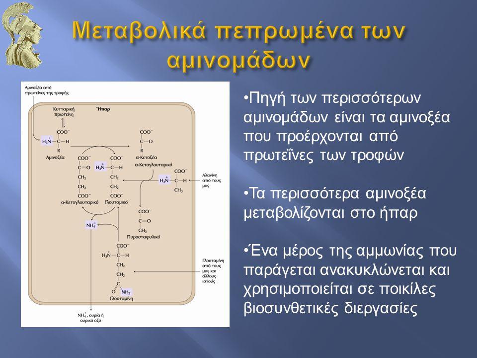 Πηγή των περισσότερων αμινομάδων είναι τα αμινοξέα που προέρχονται από πρωτεΐνες των τροφών Τα περισσότερα αμινοξέα μεταβολίζονται στο ήπαρ Ένα μέρος