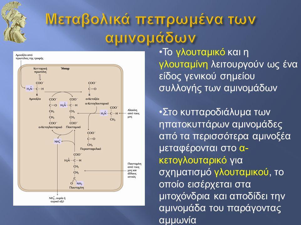 Το γλουταμικό και η γλουταμίνη λειτουργούν ως ένα είδος γενικού σημείου συλλογής των αμινομάδων Στο κυτταροδιάλυμα των ηπατοκυττάρων αμινομάδες από τα