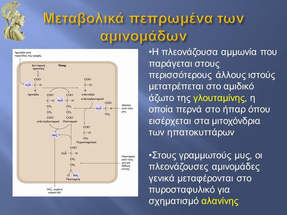 Η πλεονάζουσα αμμωνία που παράγεται στους περισσότερους άλλους ιστούς μετατρέπεται στο αμιδικό άζωτο της γλουταμίνης, η οποία περνά στο ήπαρ όπου εισέ
