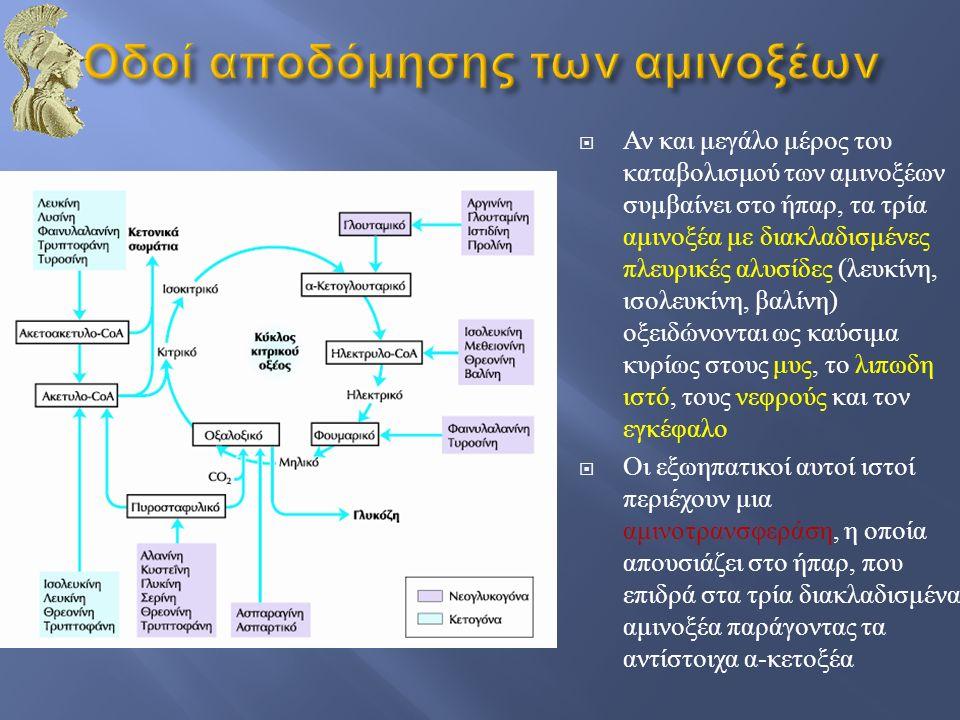  Αν και μεγάλο μέρος του καταβολισμού των αμινοξέων συμβαίνει στο ήπαρ, τα τρία αμινοξέα με διακλαδισμένες πλευρικές αλυσίδες ( λευκίνη, ισολευκίνη,