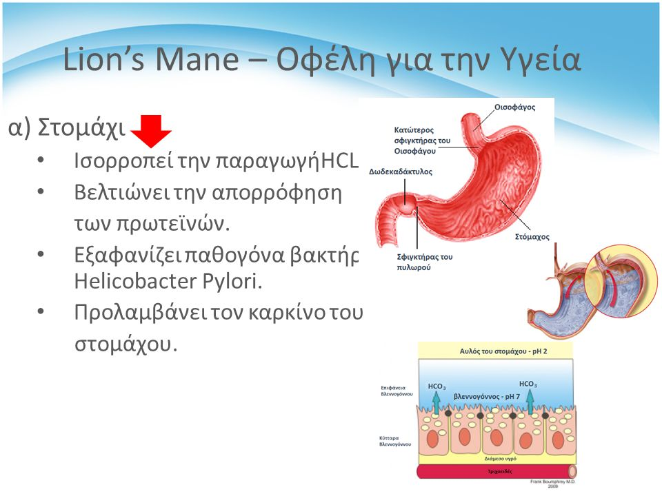 α) Στομάχι Ισορροπεί την παραγωγήHCL Βελτιώνει την απορρόφηση των πρωτεϊνών.