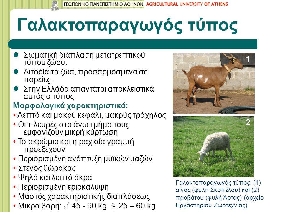 Γαλακτοπαραγωγός τύπος Σωματική διάπλαση μετατρεπτικού τύπου ζώου. Λιτοδίαιτα ζώα, προσαρμοσμένα σε πορείες. Στην Ελλάδα απαντάται αποκλειστικά αυτός