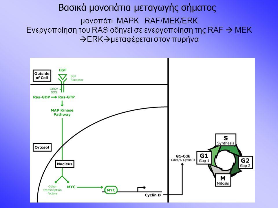 μονοπάτι MAPK RAF/MEK/ERK Ενεργοποίηση του RAS οδηγεί σε ενεργοποίηση της RAF  MEK  ERK  μεταφέρεται στον πυρήνα Βασικά μονοπάτια μεταγωγής σήματος