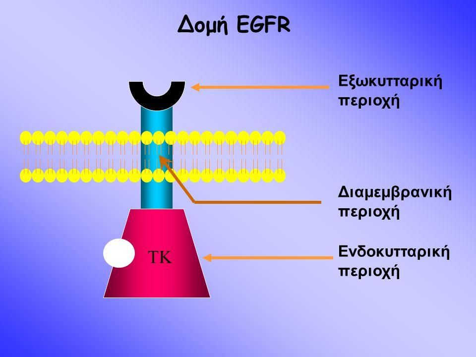 TK Εvδοκυτταρική περιοχή Διαμεμβρανική περιοχή Εξωκυτταρική περιοχή Δομή EGFR