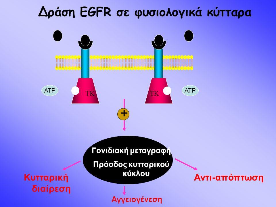 TK Δράση EGFR σε φυσιολογικά κύτταρα TK ATP Κυτταρική διαίρεση Αντι-απόπτωση Αγγειογένεση Γονιδιακή μεταγραφή Πρόοδος κυτταρικού κύκλου +