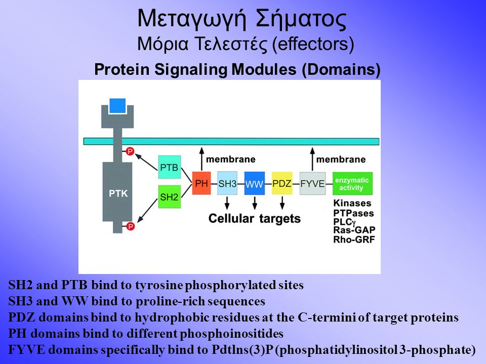 Μεταγωγή Σήματος Μόρια Τελεστές (effectors) Protein Signaling Modules (Domains) SH2 and PTB bind to tyrosine phosphorylated sites SH3 and WW bind to p