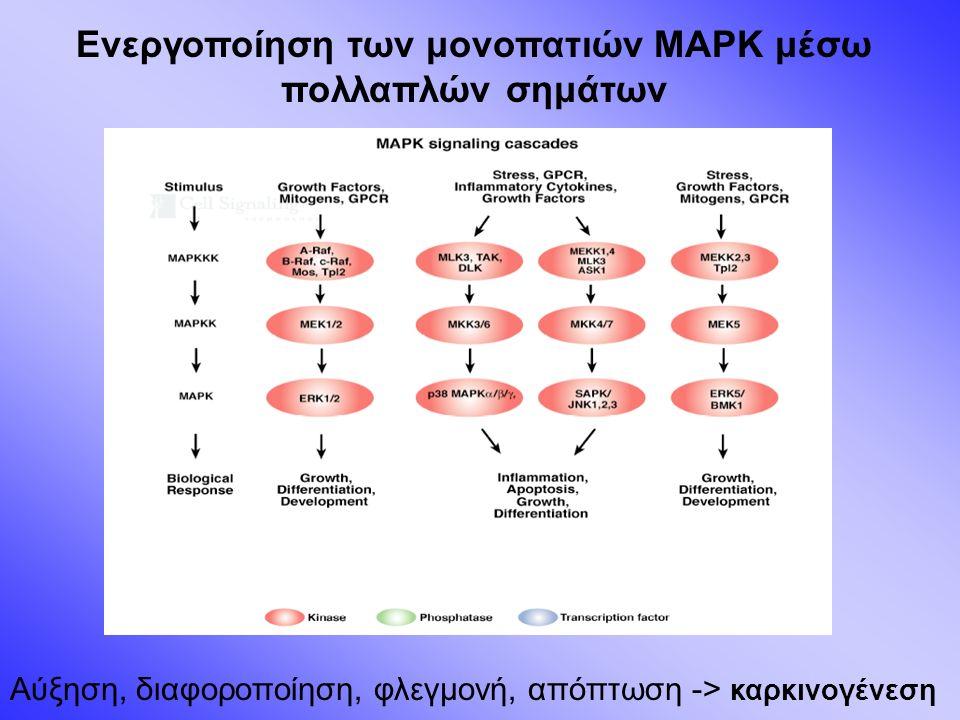Ενεργοποίηση των μονοπατιών MAPK μέσω πολλαπλών σημάτων Αύξηση, διαφοροποίηση, φλεγμονή, απόπτωση -> καρκινογένεση
