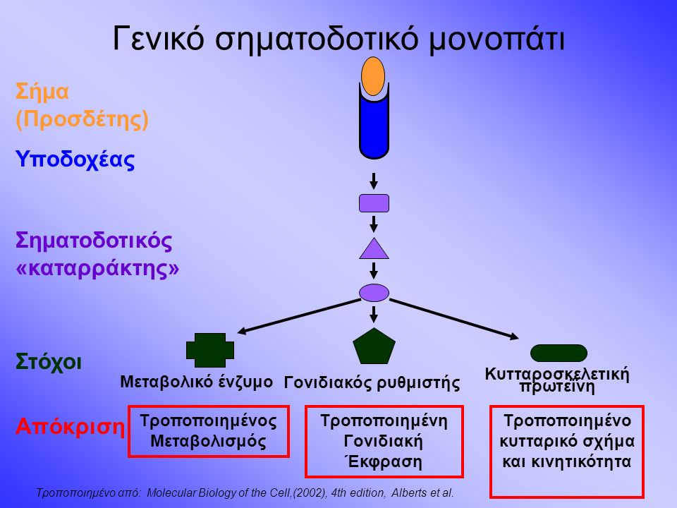Γενικό σηματοδοτικό μονοπάτι Σήμα (Προσδέτης) Υποδοχέας Σηματοδοτικός «καταρράκτης» Στόχοι Απόκριση Τροποποιημένος Μεταβολισμός Μεταβολικό ένζυμο Γονιδιακός ρυθμιστής Κυτταροσκελετική πρωτεΐνη Τροποποιημένη Γονιδιακή Έκφραση Τροποποιημένο κυτταρικό σχήμα και κινητικότητα Τροποποιημένο από: Molecular Biology of the Cell,(2002), 4th edition, Alberts et al.