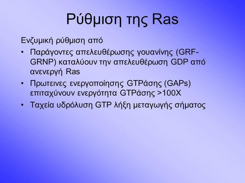 Ρύθμιση της Ras Ενζυμική ρύθμιση από Παράγοντες απελευθέρωσης γουανίνης (GRF- GRNP) καταλύουν την απελευθέρωση GDP από ανενεργή Ras Πρωτεινες ενεργοποίησης GTPάσης (GAPs) επιταχύνουν ενεργότητα GTPάσης >100Χ Ταχεία υδρόλυση GTP λήξη μεταγωγής σήματος