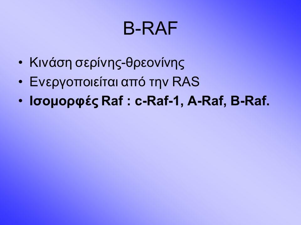 B-RAF Κινάση σερίνης-θρεονίνης Ενεργοποιείται από την RAS Ισομορφές Raf : c-Raf-1, A-Raf, B-Raf.