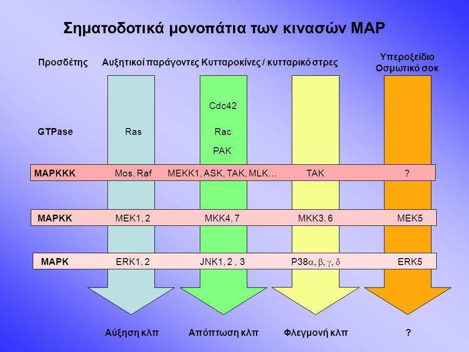 Προσδέτης GTPase MAPKKK MAPKK MAPK Αυξητικοί παράγοντεςΚυτταροκίνες / κυτταρικό στρες Υπεροξείδιο Οσμωτικό σοκ RasRac Cdc42 PAK Mos, RafMEKK1, ASK, TAK, MLK… MEK1, 2 ERK1, 2JNK1, 2, 3 P38  ERK5 MKK4, 7MEK5MKK3, 6 TAK.