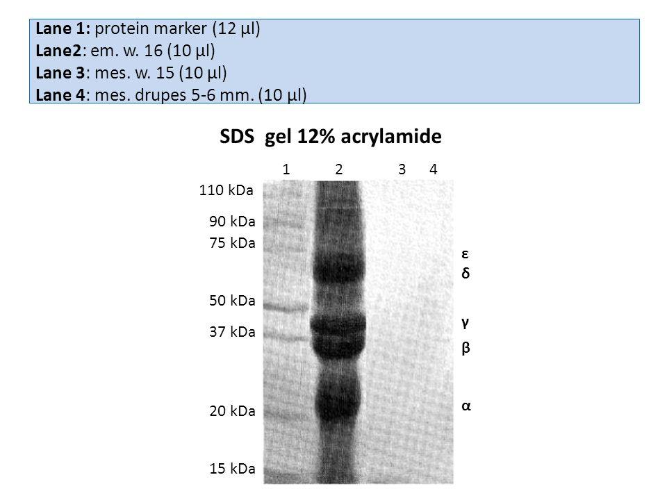 Lane 1: protein marker (12 μl) Lane2: em. w. 16 (10 μl) Lane 3: mes.